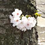 岡山の弁護士丸野法律事務所近くの西川緑道公園沿いの桜の幹に咲いた花