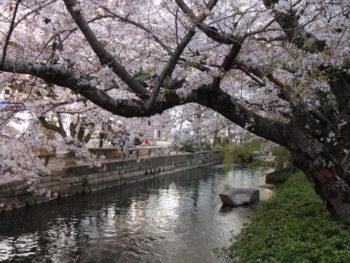 岡山の弁護士丸野法律事務所近くの西川緑道公園沿いの桜の木